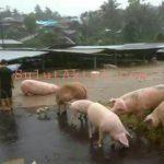 Banjir Sonder Merusak Peternakan Milik Warga