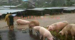 Banjir yang terjadi di Desa Tounelet, Sonder menyebabkan kerusakan pada peternakan babi milik warga.