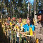 Wabup Hontong Panen Jagung Dan Tanam Cabe Di Kampung Raku