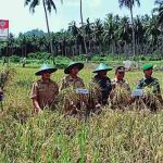 24 Hektar Lahan Cetak Sawah Baru Dinas Pertanian Minut Siap Panen